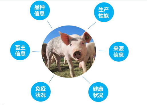 What is the use of RFID technology in pig industry
